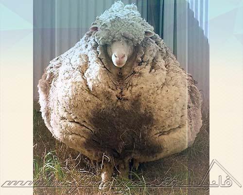پشمالوترین گوسفند جهان با بیش از 40 کیلوگرم پشم